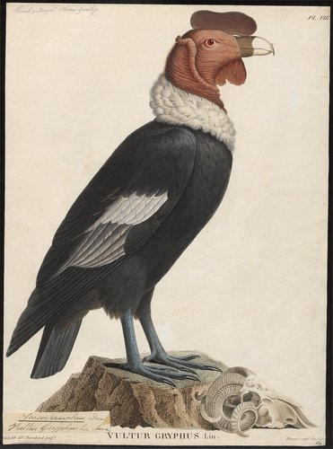 1. Sarcoramphus_gryphus_-_1805-1811_-_Print_-_Iconographia_Zoologica_-_Special_Collections_University_of_Amsterdam.jpg